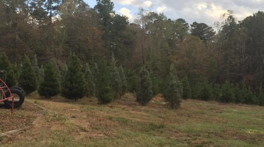 City of Lights Christmas Tree Farm